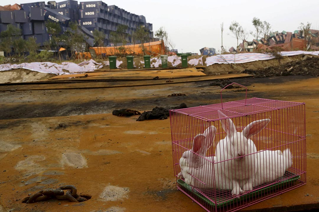 2015年8月19日,天津濱海新區。政府當局在大爆炸現場放置白兔作環境評估測試。