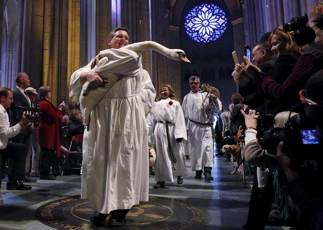 2015年10月4日 神職人員抱著天鵝參與教堂的動物的巡遊行。攝 : Elizabeth Shafiroff/ Reuters
