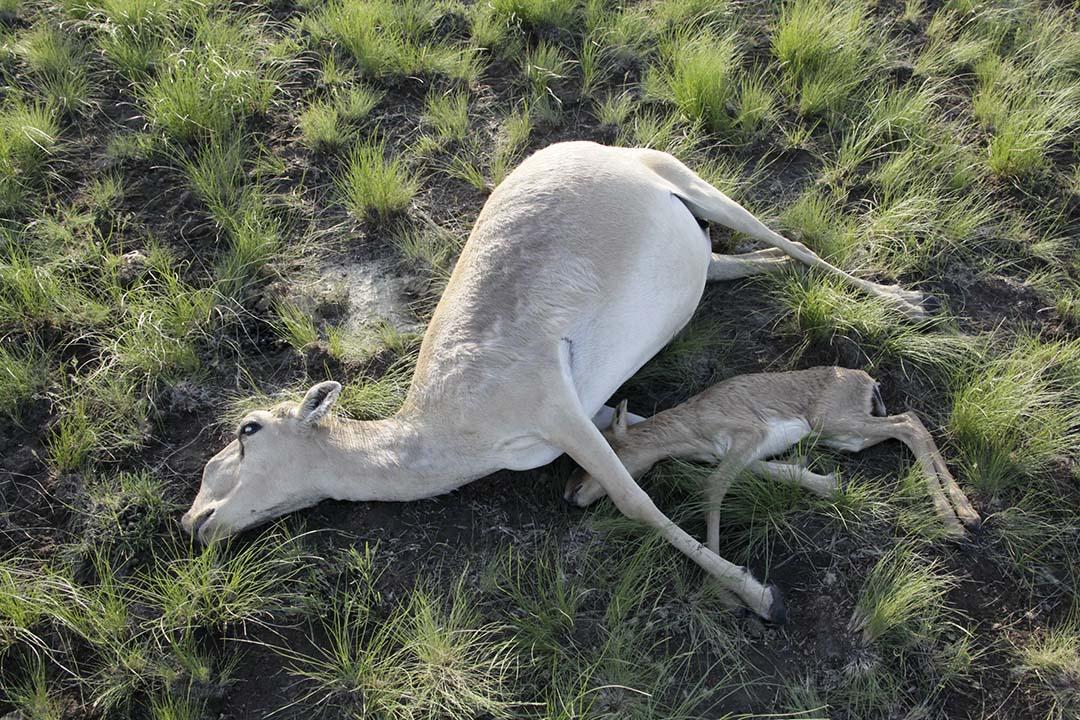 全球一半數量的高鼻羚羊在兩三周內突然死去,科學家近日稱或與氣候變暖有關。圖為哈薩克斯坦科斯塔奈地區的高鼻羚羊屍體。攝:Kazakhstan's Ministry of Agriculture/Reuters