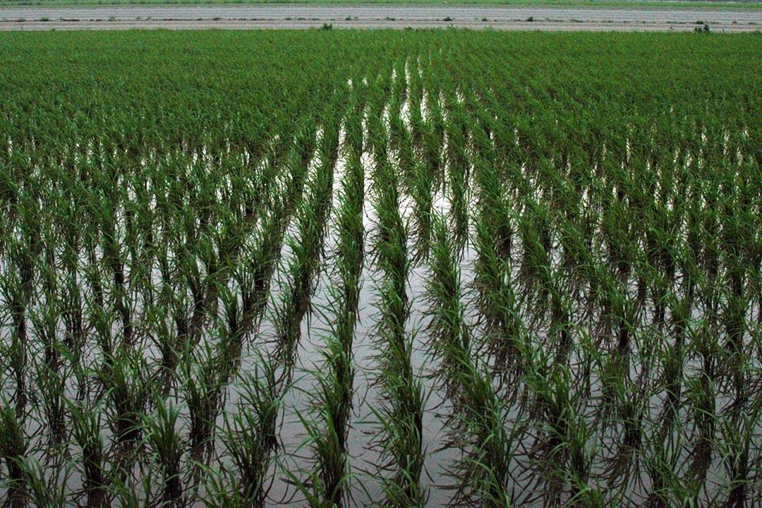 圖為台灣雲林縣的稻田。攝:Reuters