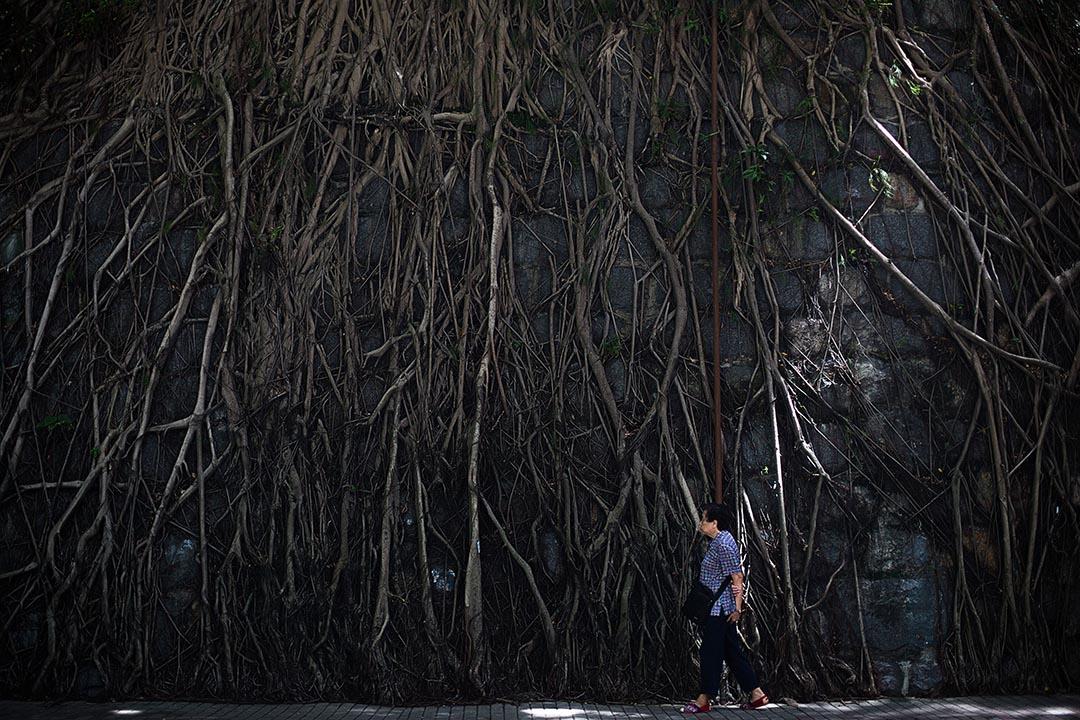 一名市民在科士街的一棵石牆樹前行過。攝 : 盧翊銘/端傳媒