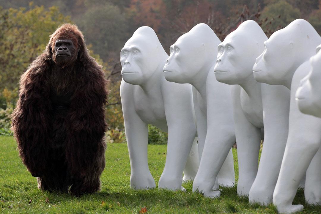 2010年,英國布里斯托,藝術家創作了一批白色的猩猩雕塑慶祝當地動物園175周年,展出時亦放置了一隻電動猩猩在雕塑旁邊。攝:Matt Cardy/GETTY