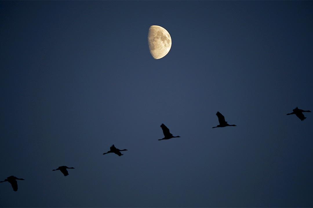 2015年10月22日,幾隻鶴於明月下飛越於匈牙利的霍爾托巴吉平原上空。攝:LASZLO BALOGH/Reuters