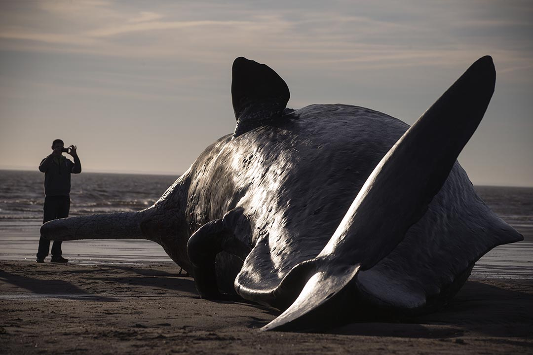 2016年1月25日,英國東部,三條抹香鯨在岸邊擱淺,圖為其中一條擱淺的抹香鯨。攝:Dan Kitwood/GETTY