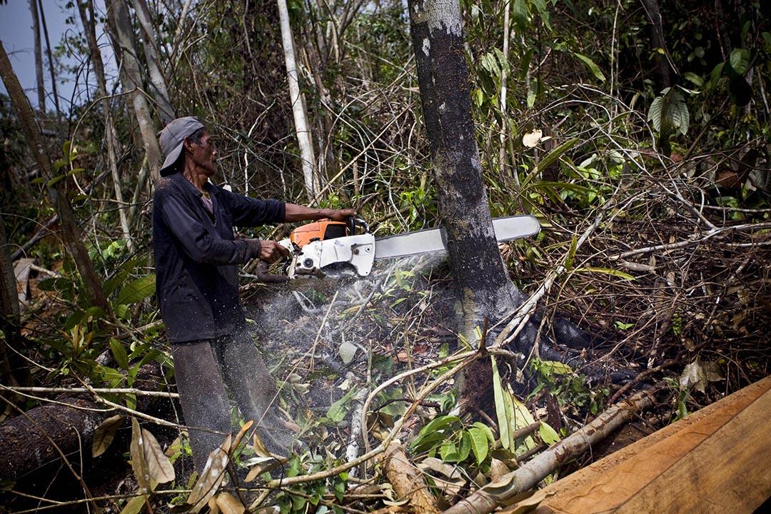 一個伐木工正在採伐熱帶雨林的樹木。攝 : Ulet Ifansasti/Getty Images