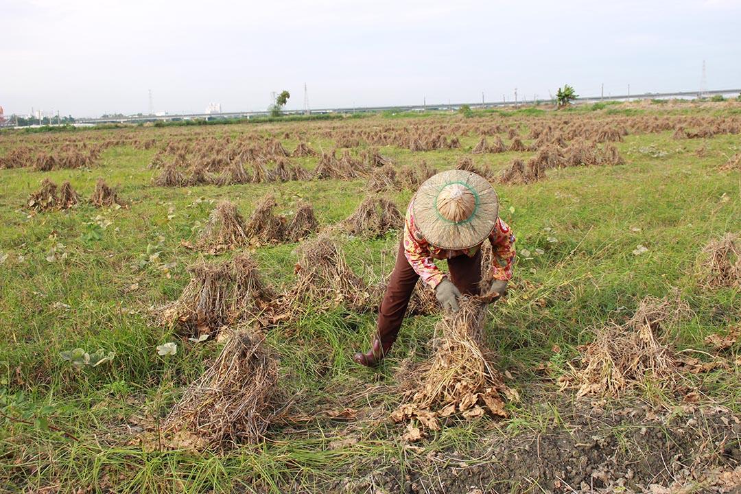 平日忙除草,收成得一株一株地拔,綁成束,再把曬乾的紅豆束集合起來,讓採收機來收。顧瑋提供