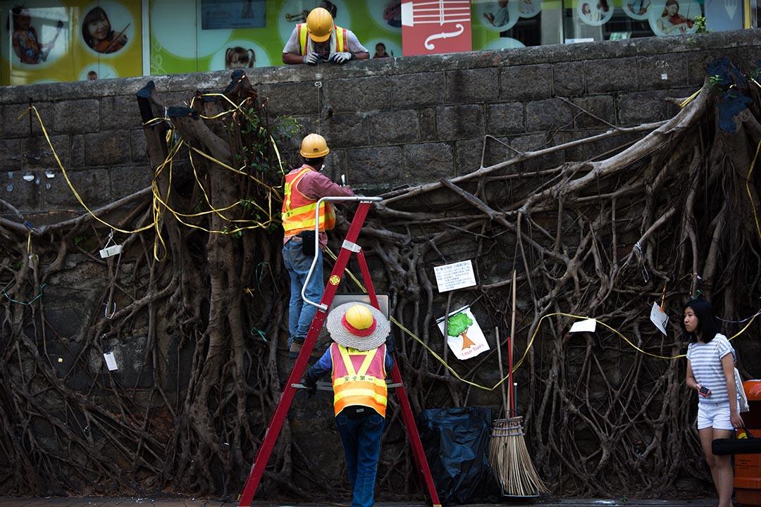 西區般咸道四棵長逾百年的石牆古樹遭路政署移除。攝 : 盧翊銘/端傳媒