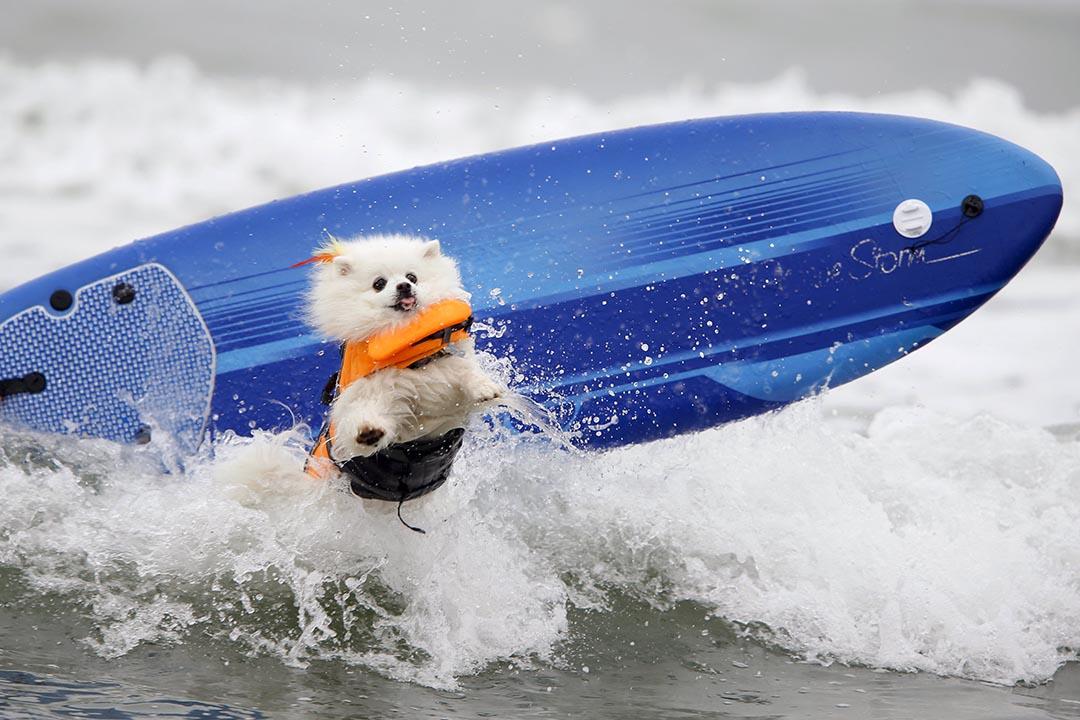 寵物狗參與加州一場專為狗隻舉辦的滑浪比賽。