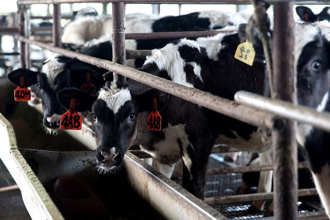 小牛從出生到兩歲產乳前是飼育關鍵期,胃容量和體態將決定未來的泌乳能力。攝:張國耀/端傳媒