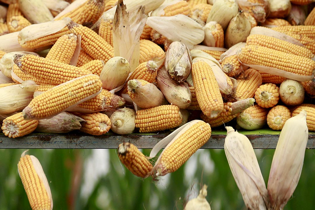 中國首個基因改造玉米種子產品將賣給美國。攝 : Kim Kyung-Hoon/REUTERS