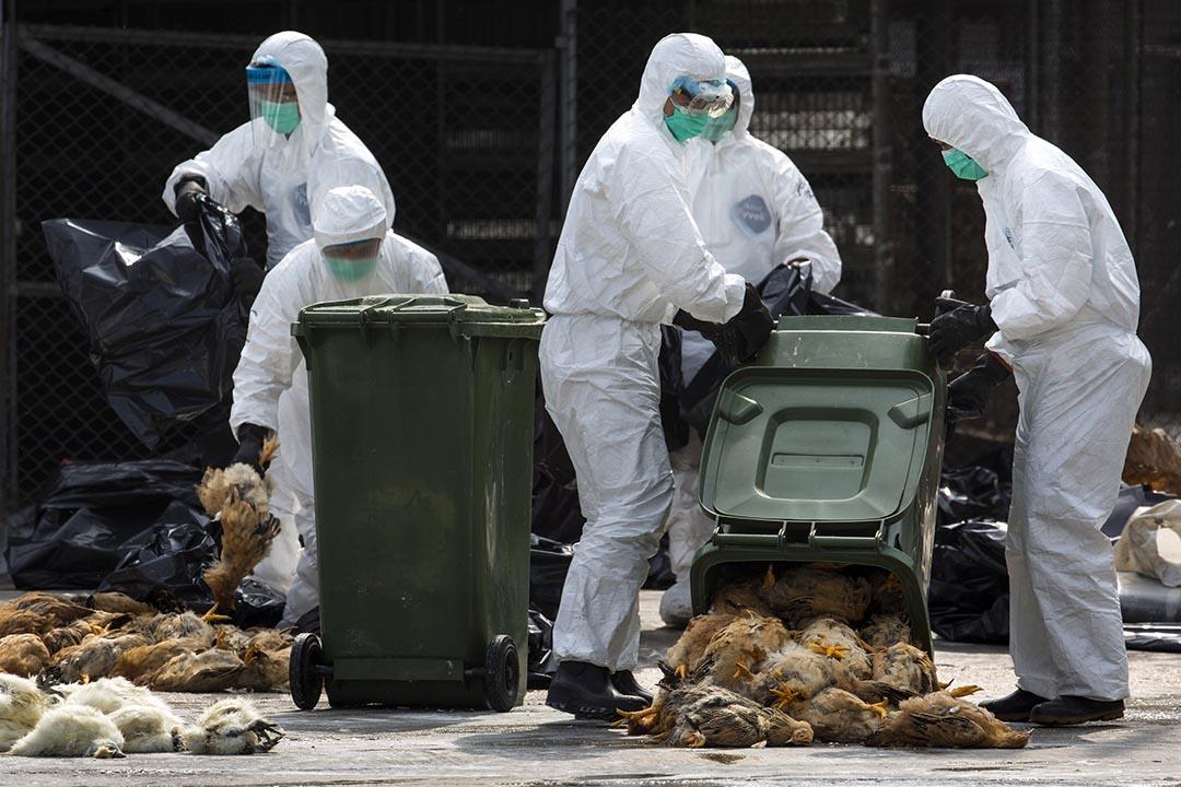 2014年1月28日,廣東省發現有雞隻染上禽流感並輸出到香港,香港當局派員到家禽批發市場銷毀雞隻。攝:Tyrone Siu/REUTERS