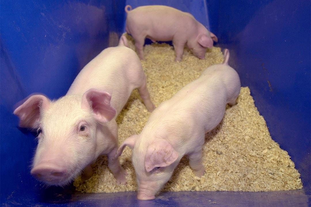 複製動物不是新鮮事。這是2002年在美國佐治亞大學,由ProLinia公司生產的克隆小豬。攝:Erik S. Lesser/Getty