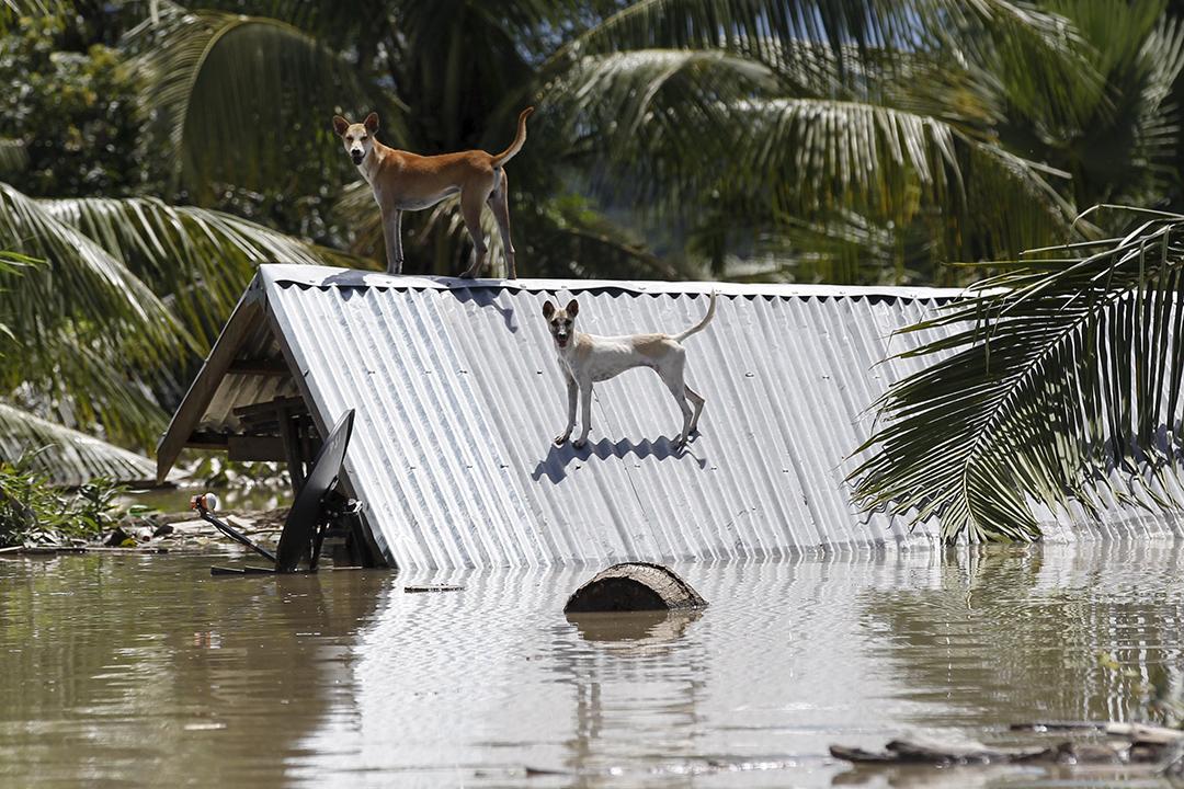 房屋被洪水沒頂,災區的狗都走到屋頂逃生。攝: Soe Zeya Tun /REUTERS