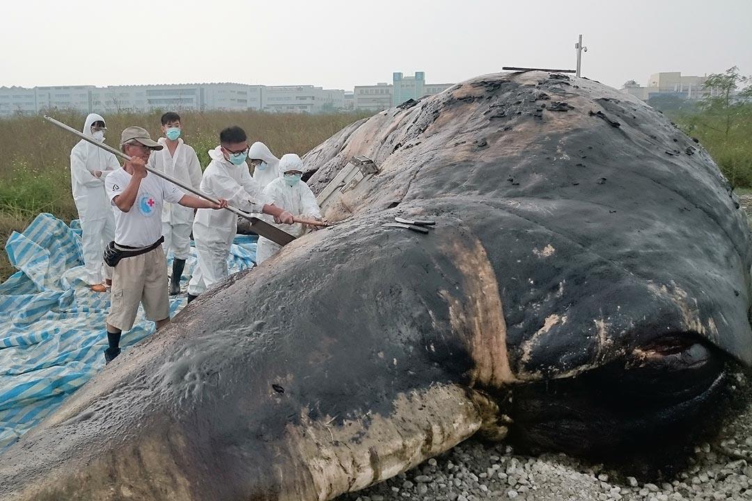 2015年10月24日,台北,抹香鯨在嘉義縣擱淺。 攝:台灣成功大學/AFP