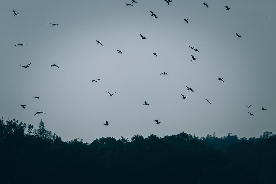 一群雀鳥在金門上空飛過。攝:王嘉豪/端傳媒