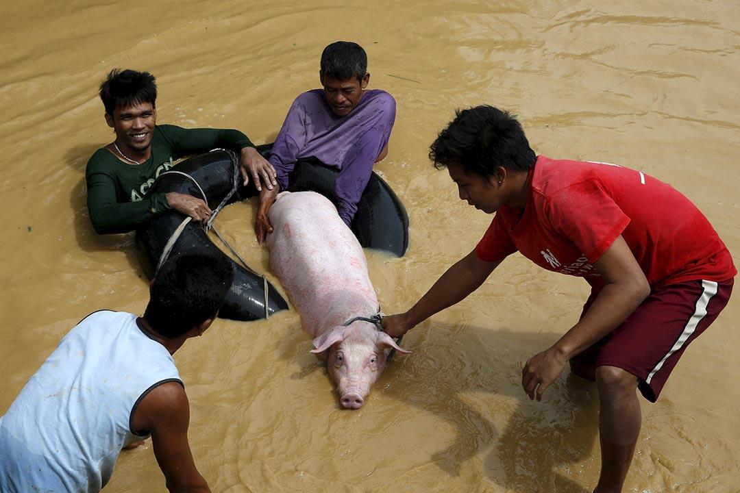 2015年10月19日,菲律賓北部新怡詩夏省受颱風「巨爵」吹襲,災民將一頭豬帶往高地避難。攝:ERIK DE CASTRO/Reuters