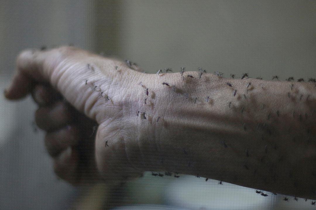 2016年1月26日,危地馬拉城,正進行科學實驗的公共衛生研究人員前臂上佈滿了實驗用的母蚊。該國昆虫學的研究人員正設法研究對付寨卡病毒。攝:Josue Decavele/REUTERS