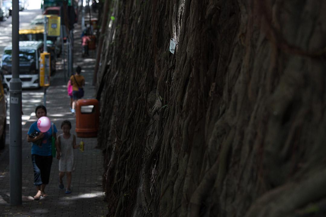 黃英琦:當議員看見路政署不問因由斬掉石牆樹,他們可以做的不只是無力反對一番,而是與居民共創新點子。圖為香港堅尼地城科士街石牆樹。攝:盧翊銘/端傳媒