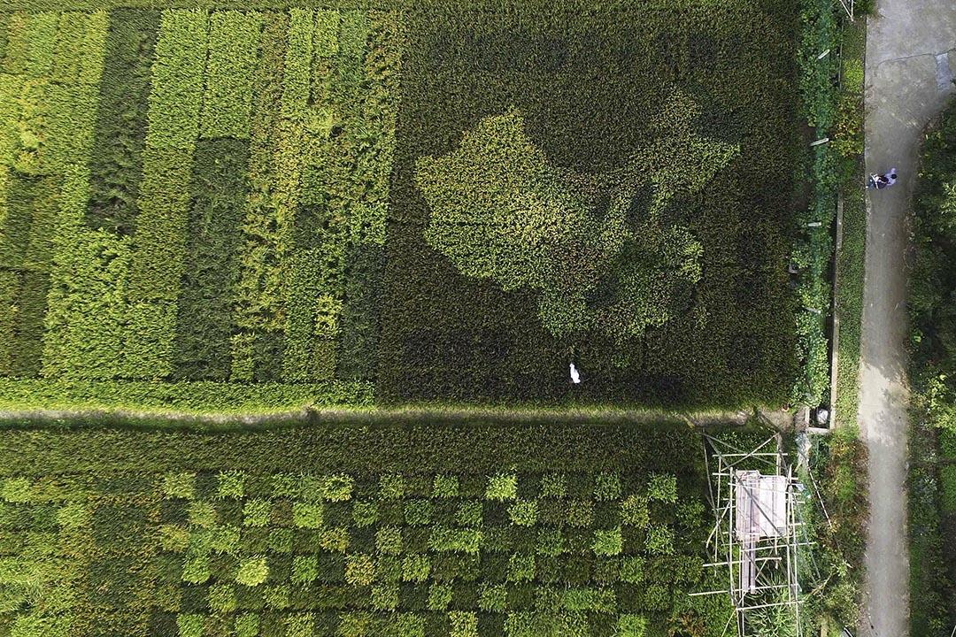2015年10月12日,記者從高空拍攝上海郊區的一片稻田。攝:Stringer/REUTERS
