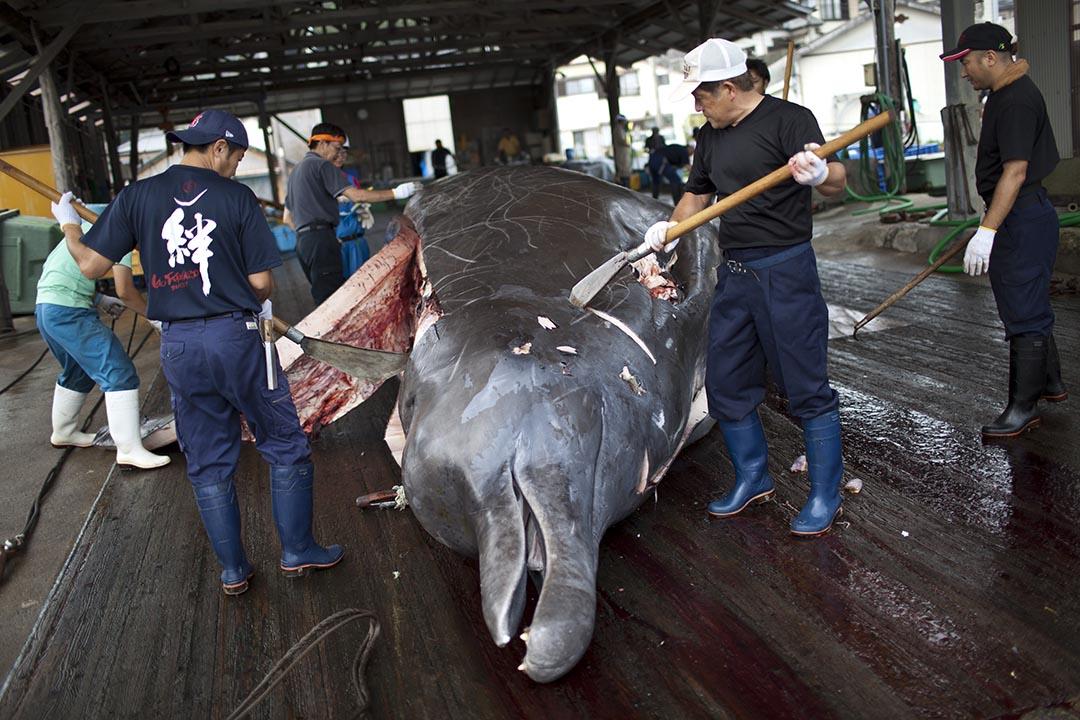 日本政府不顧國際社會反對和聯合國禁令,於日前宣布以科學調查研究為名恢復捕鯨計劃。圖為日本千葉縣漁民正切割捕到的鯨。攝:林亦非/端傳媒