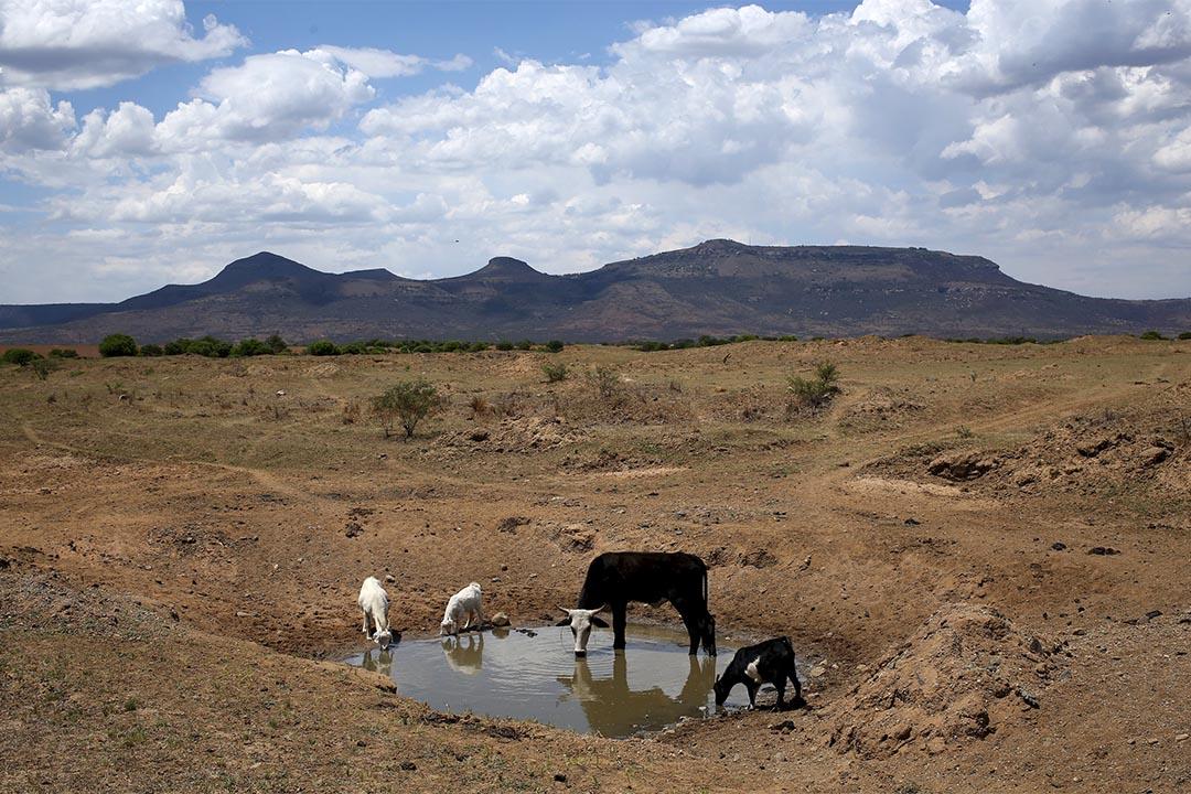 2015年11月8日,南非納塔爾省幾隻牲畜在幾乎乾涸河道上喝水。攝:Siphiwe Sibeko /REUTERS
