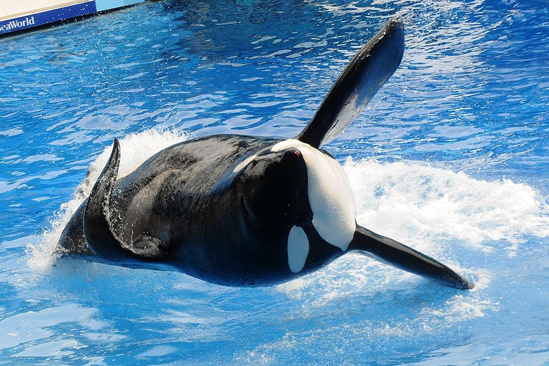 很好!這裹的殺人鯨不用再參與表演,你自由了。攝:Gerardo Mora/端傳媒