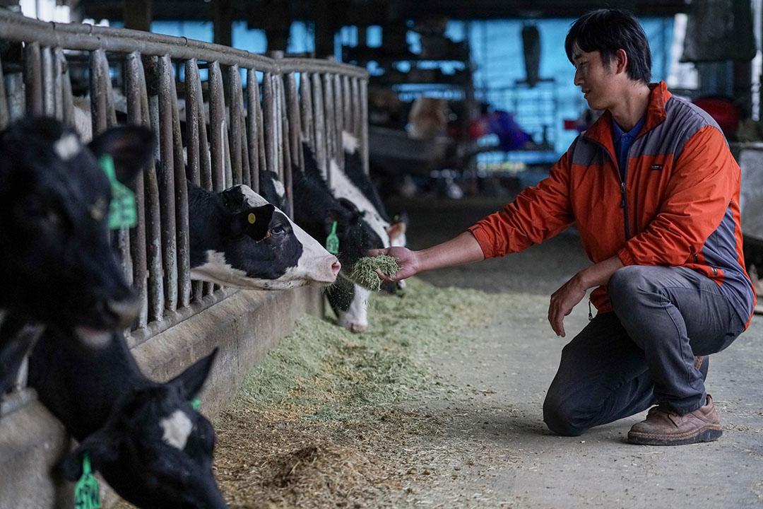 黃俊凱拿牧草餵4、5個月大的小牛,小時候他會鑽進籠子裡跟牛一起睡覺。攝:張國耀/端傳媒