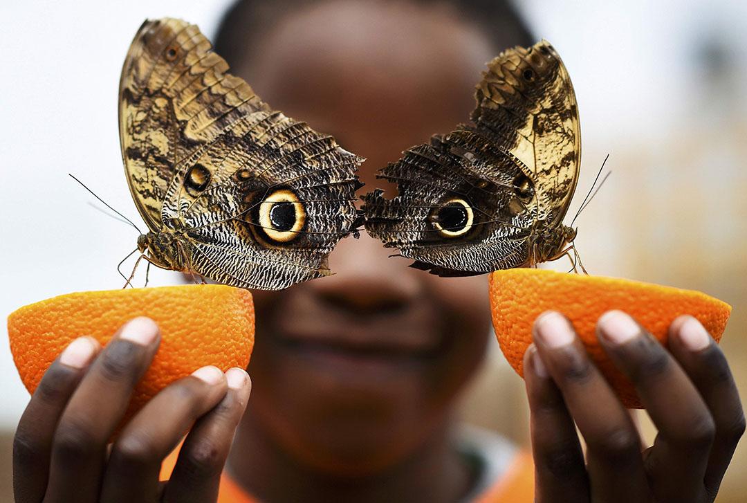 2016年3月23日,英國倫敦自然歷史博物館的蝴蝶展覽開幕。 攝:Dylan Martinez/REUTERS