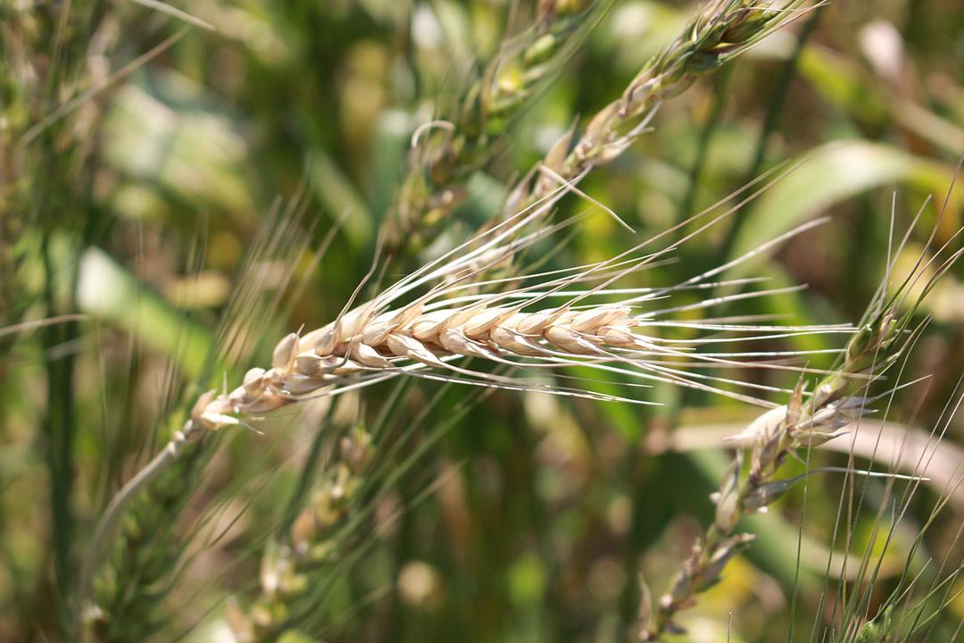 從土地取走多少,就要還回去多少,土地與作物才能生生不息。小麥病蟲害不嚴重,是很適合用友善環境方式栽植的作物。照片由顧瑋提供。