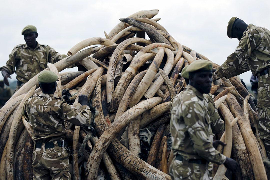 2016年4月20日,肯亞野生動物保護局(KWS)燒毀105噸沒收的象牙。攝:Thomas Mukoya /REUTERS