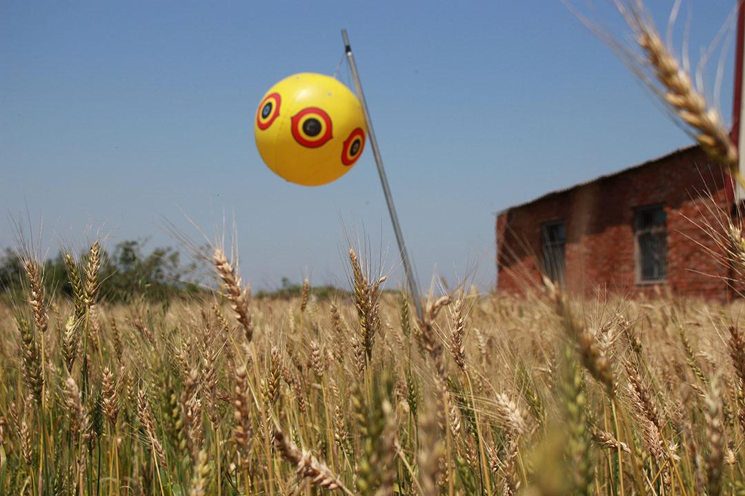 小馬自創「驚鳥球」試著降低小麥田中的鳥害。照片由顧瑋提供。