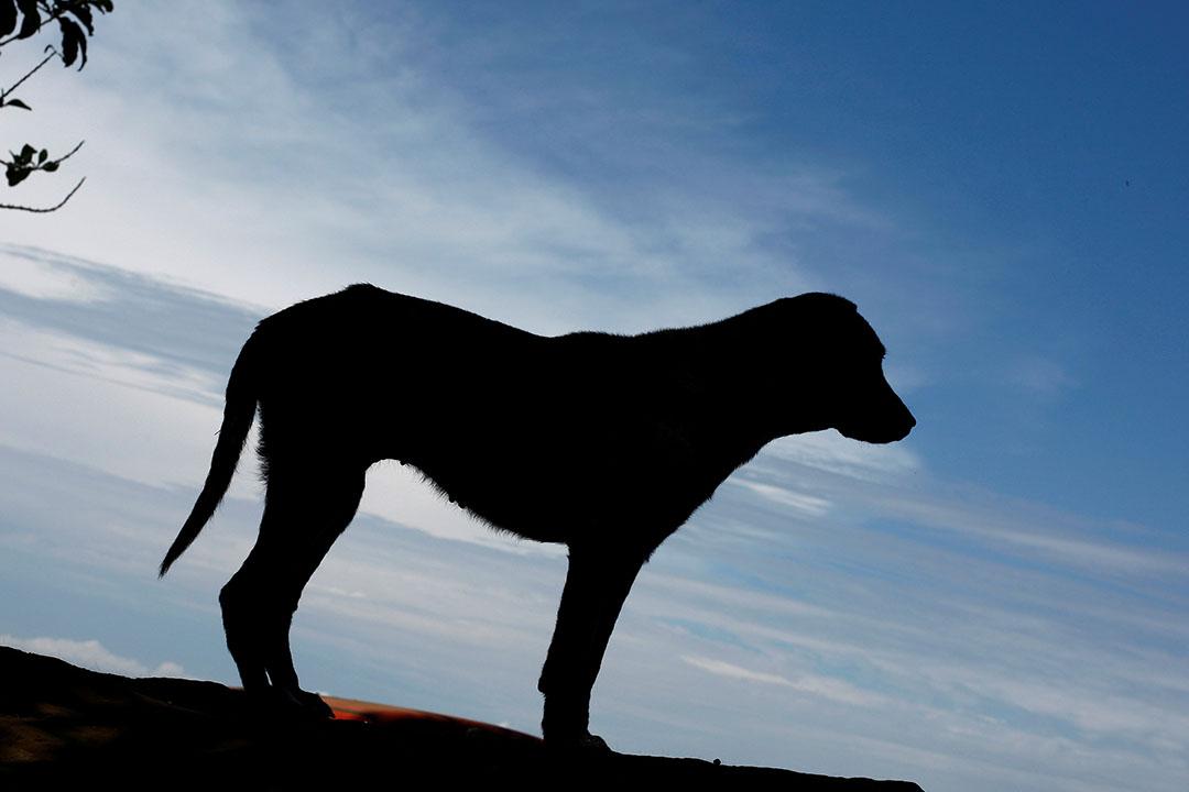 2016年4月20日,流浪狗收容所中,一隻狗的剪影。攝:Juan Carlos Ulate/REUTERS