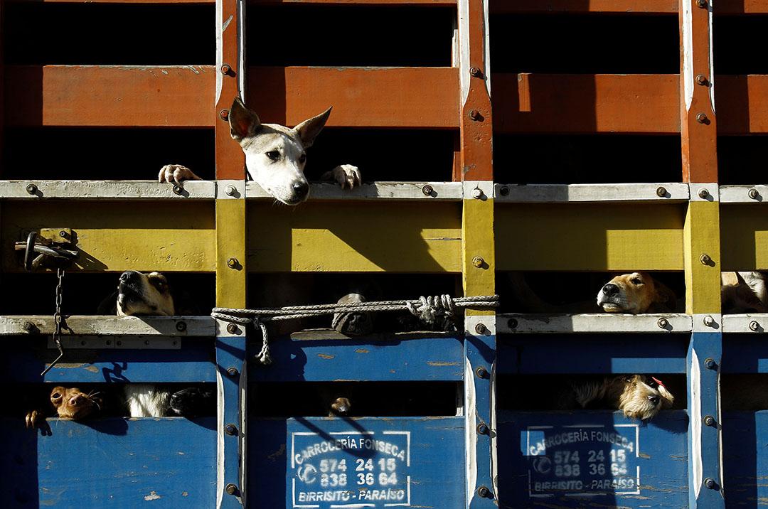2016年4月22日,流浪狗被送往絕育途中,從貨車閘口中伸出頭。攝:Juan Carlos Ulate/REUTERS