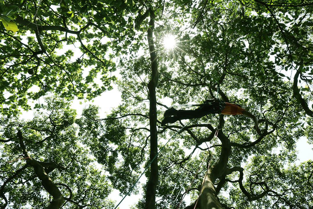 攀樹師翁恒斌靈活的在樹上跳躍。