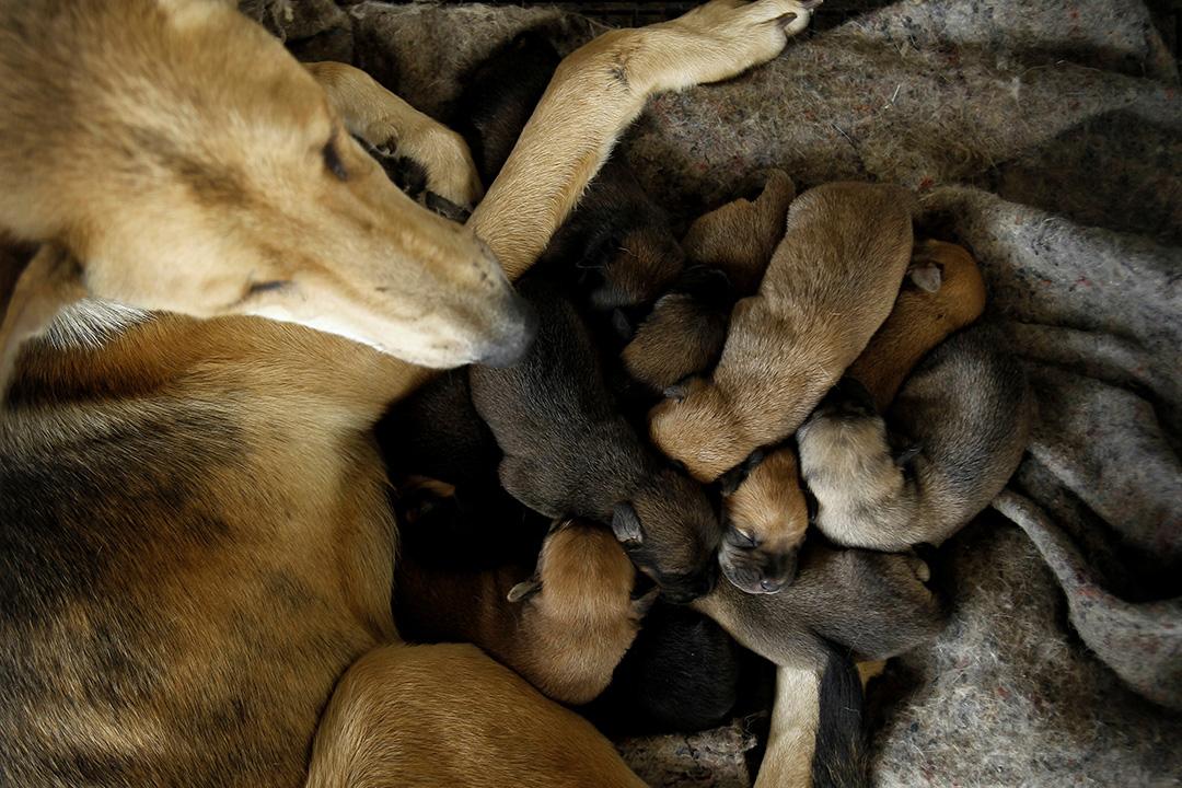 2016年4月20日,流浪狗收容所內,一隻母狗與幼犬一同休息。攝:Juan Carlos Ulate/REUTERS