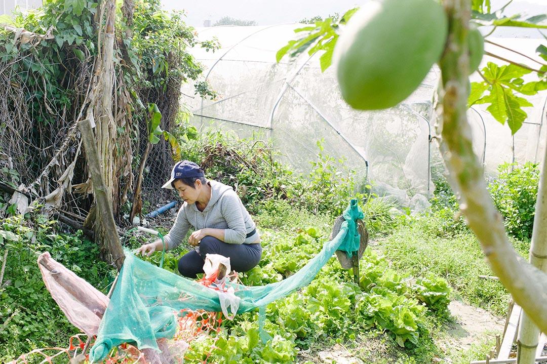 高春香於「老人田」收割生菜。
