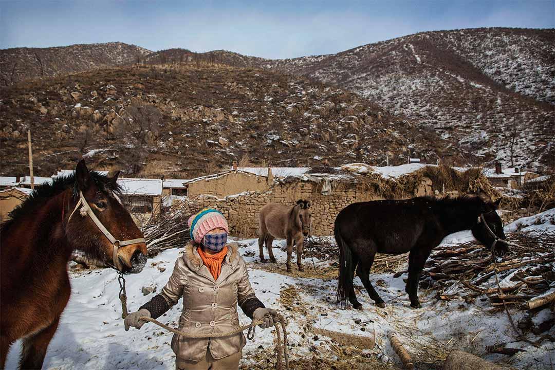 圖為河北省崇禮區一名農民帶著她的騾子。