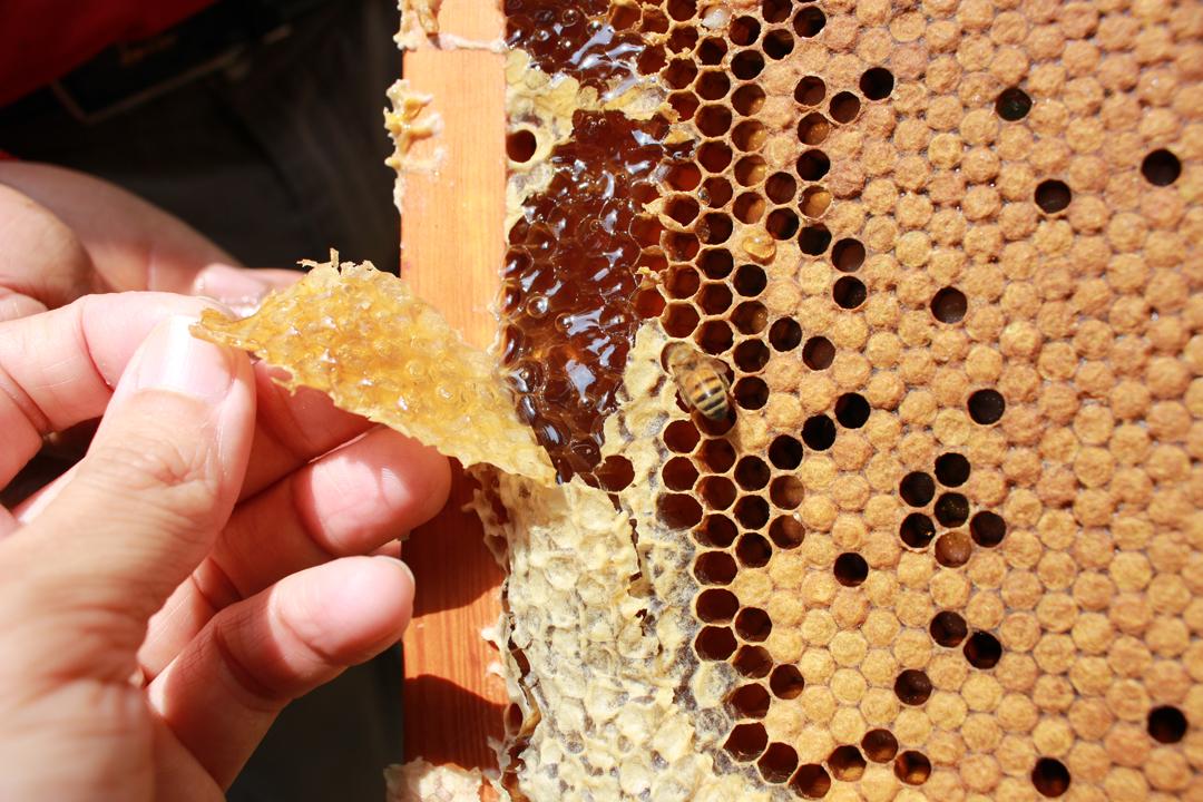 有花才有蜜,蜂採蜜授粉,植物才得以結實結籽,這甜美的鏈結,如是細密,卻也如是敏感脆弱。