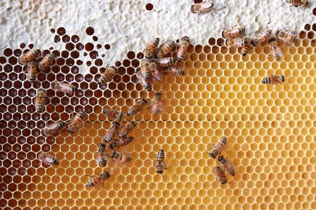 蜜蜂日夜揮動翅膀,讓蜜中的水分蒸發、待水分含量降至20%以下,再將熟化完成的蜂蜜以蜂蠟密封在巢房內。