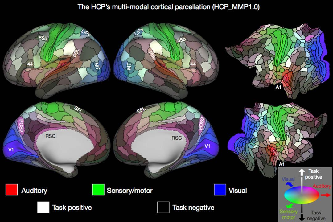 美國聖路易斯華盛頓大學的一個研究團隊繪製出迄今最全面、最精確的人類大腦圖譜。