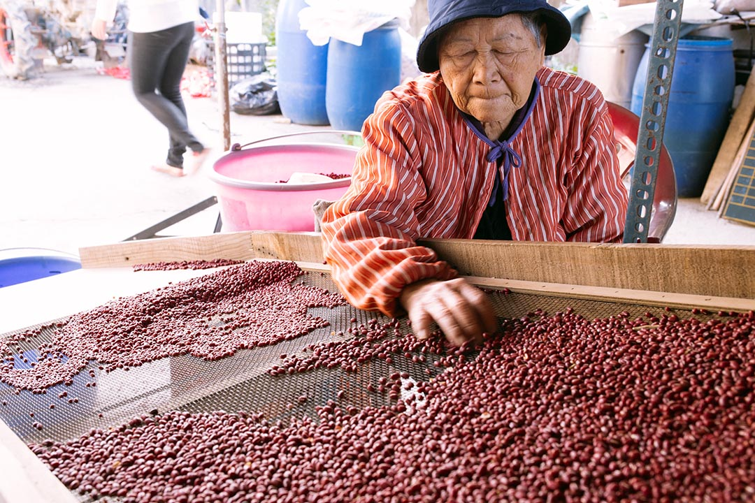 婦人忙著把剛摘下的紅豆挑選分類。