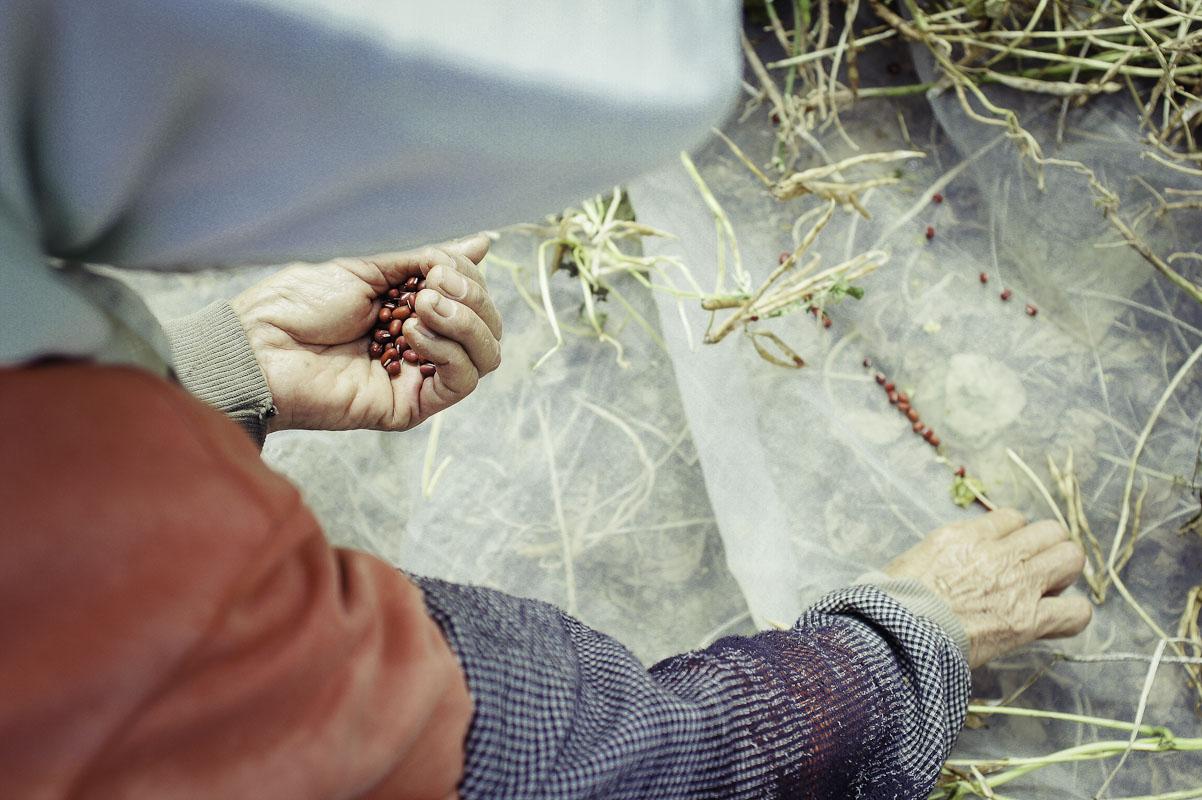 紅豆採收。