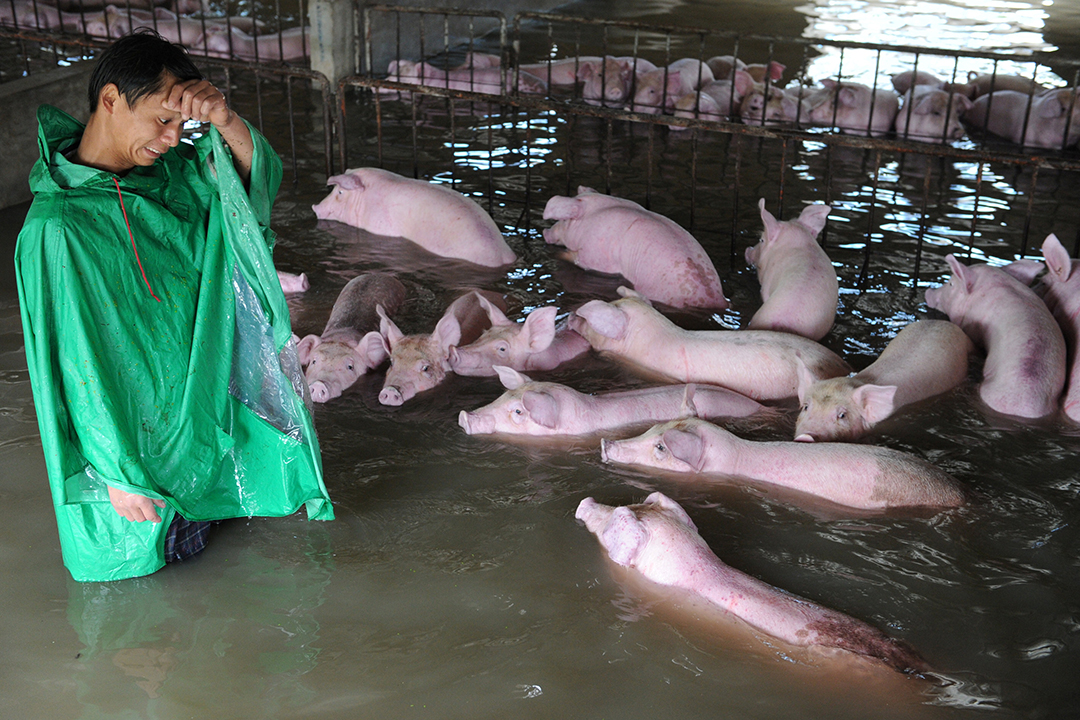 一名員工看著一群被困在淹水農場的豬。