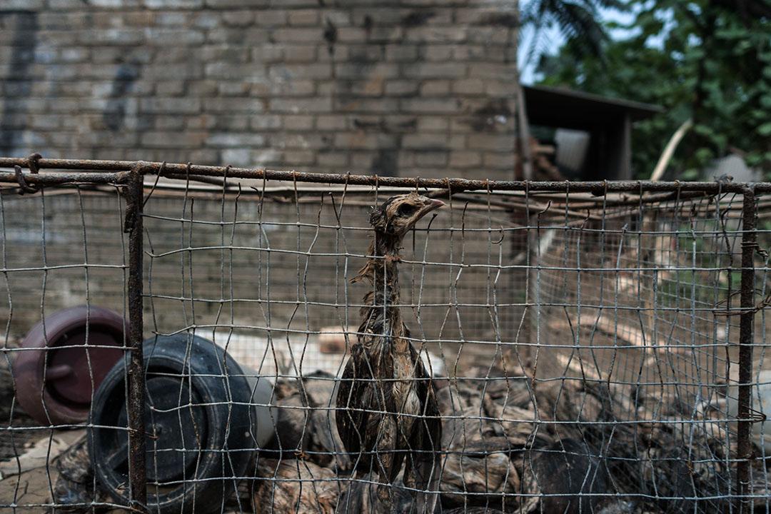 邢台市大賢村,被洪水淹死在籠內的雞。