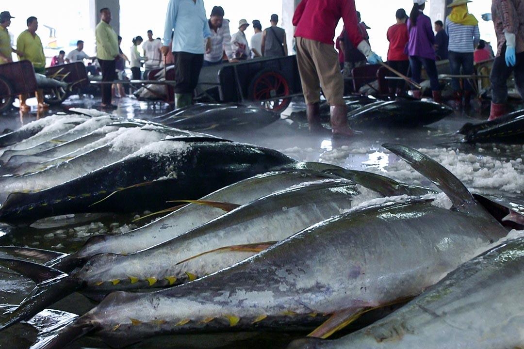 台灣遠洋漁業在中西太平洋水域的鰹魚、黃鰭鮪(黃鰭金槍魚)、大目鮪(大目金槍魚)漁獲量,台灣以27.3萬公噸排名第三,僅輸給美國、韓國。