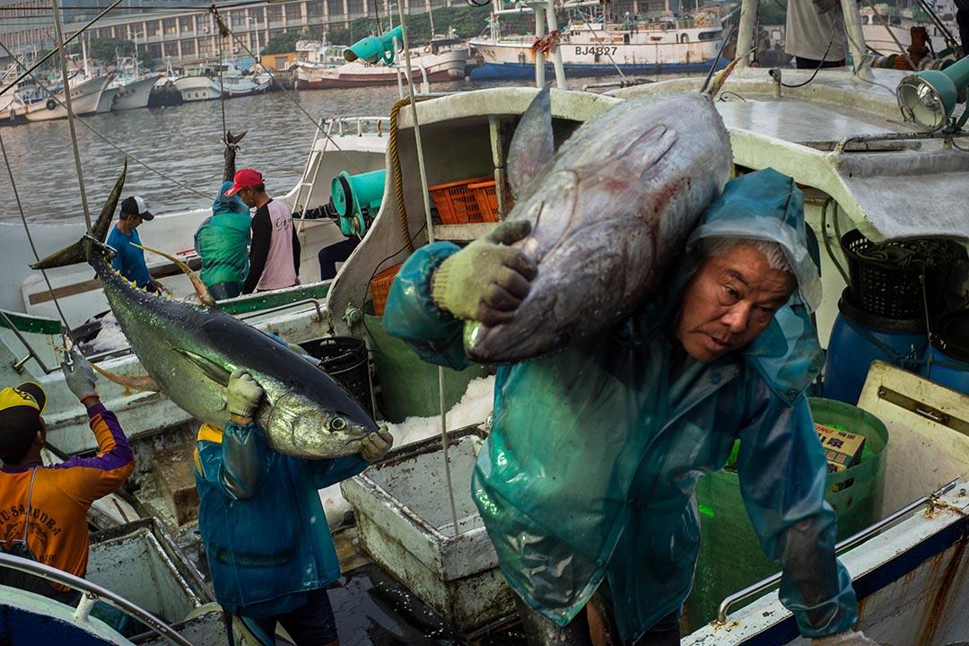 1992年,台灣的鮪類漁獲量一度高居全球第二,僅次於日本,近年雖因印尼、菲律賓、中國等國家崛起,卻仍是全球漁業強權之一。