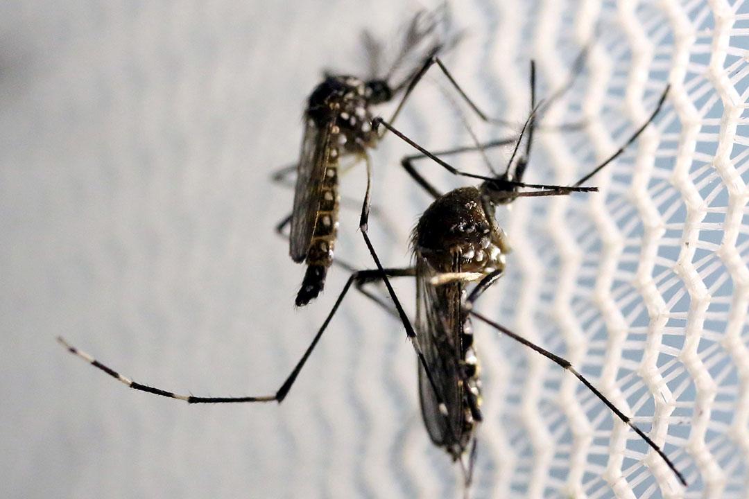 本港出現首宗外地傳入寨卡病毒感染個案。圖為寨卡病毒主要病媒埃及伊蚊。