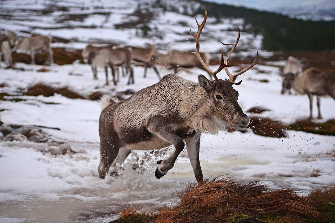 俄羅斯將捕殺西伯利亞可能感染炭疽病的25萬頭馴鹿。