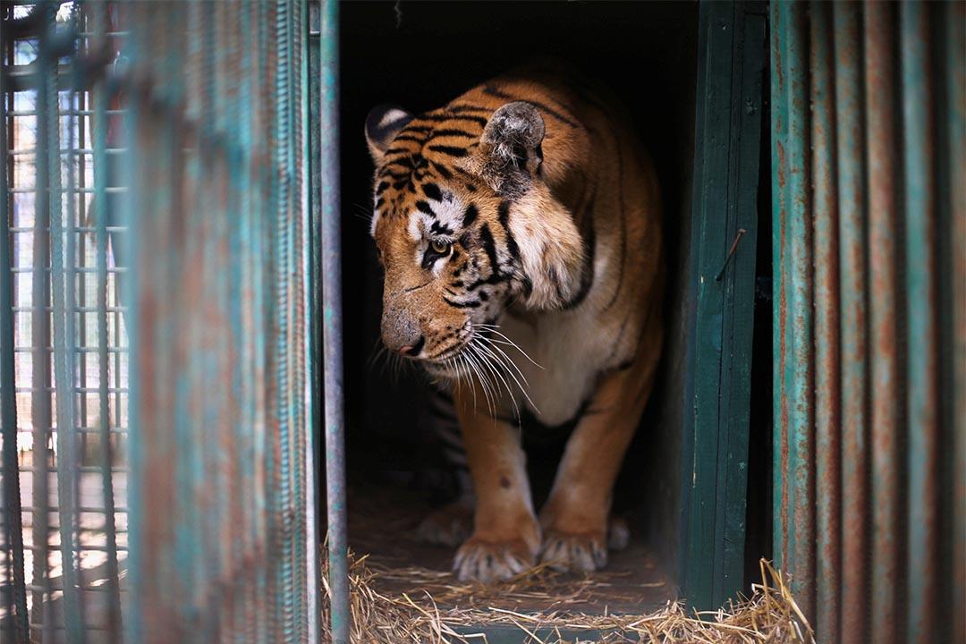 2016年8月23日,加沙地帶一個動物園,一隻老虎站在圍欄裡面。