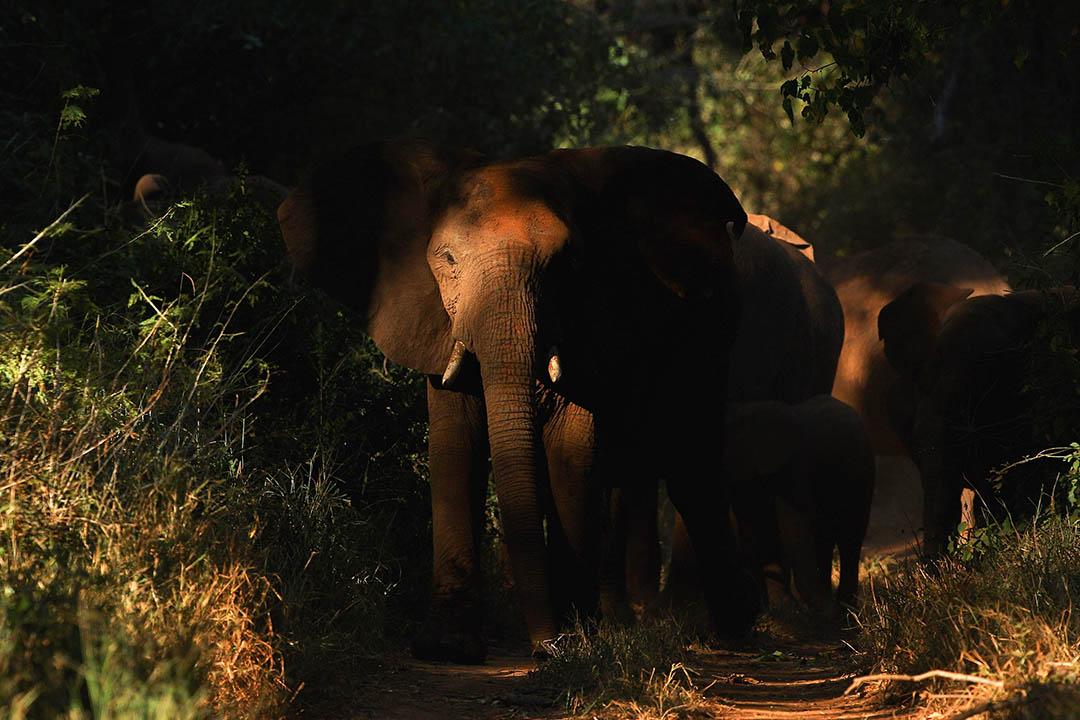 非法獵殺大象導致非洲大象數量下降三成。